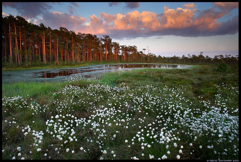 Remo Savisaar. Cotton grass blossoming in Viru bog.
