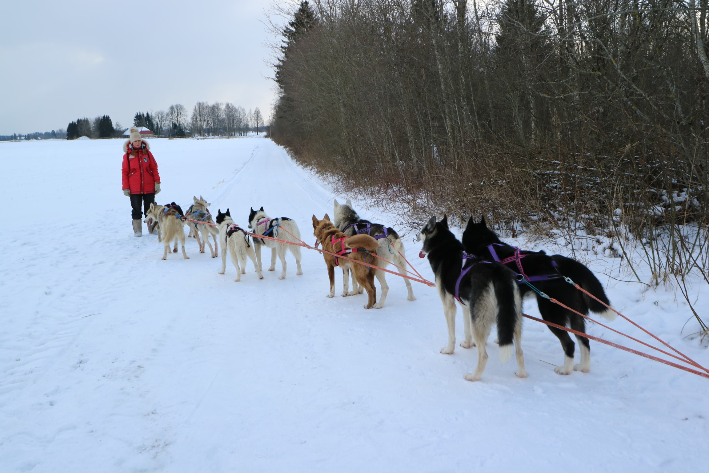 Huskies are ready for the dog sledding