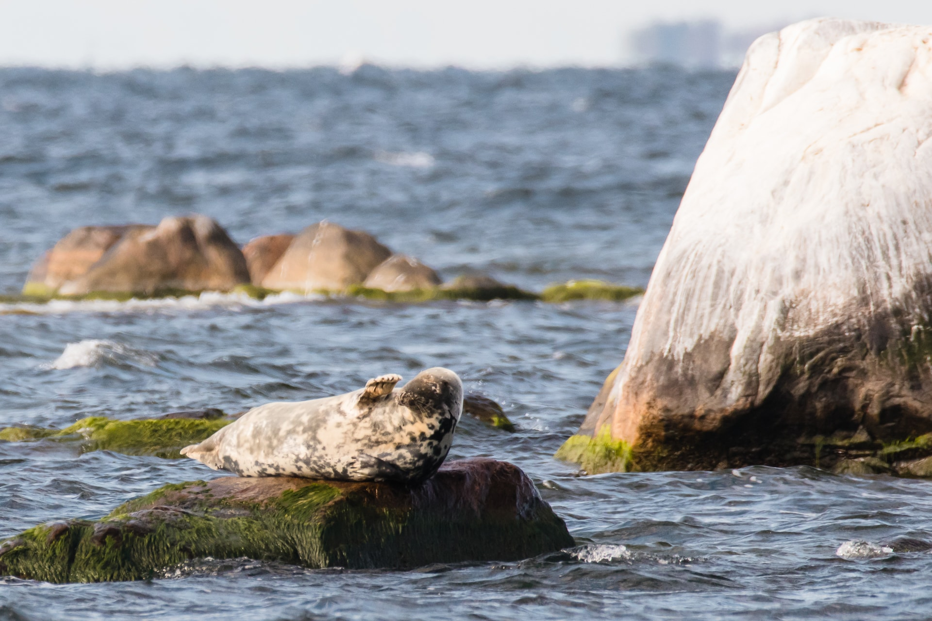 Marko Poolamets. A grey seal saying hello to the people on the seal-watching trip