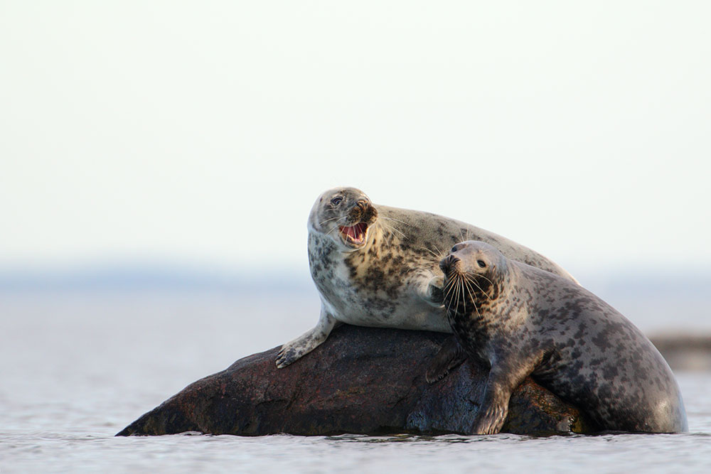 We Travel the World. Huge grey seals in the Baltic sea.