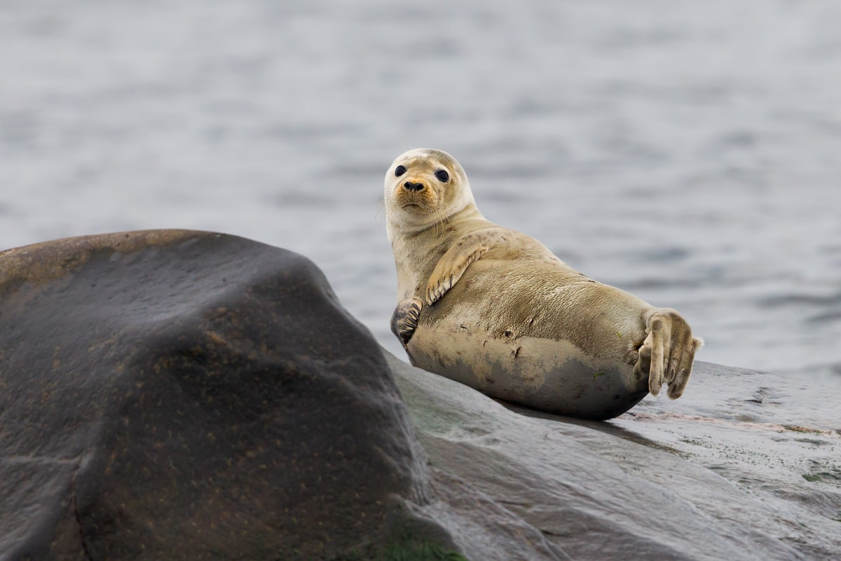 Alar Saat. The seal is very curious about the people who are visiting.