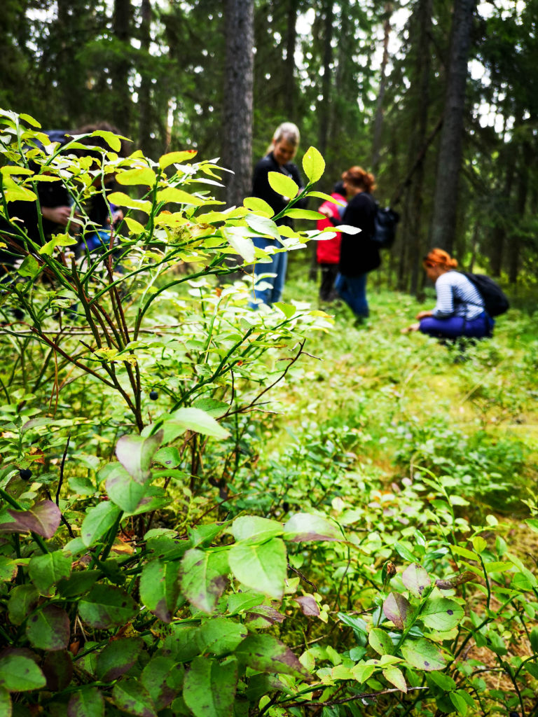 Pick blueberries from Estonian nature on Day Trip to Lahemaa National Park