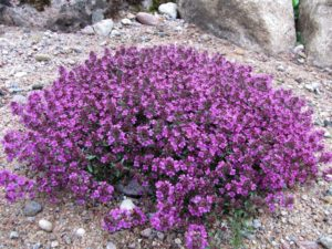 Breckland thyme can be found on Estonian islands - book a day tour to Prangli Island