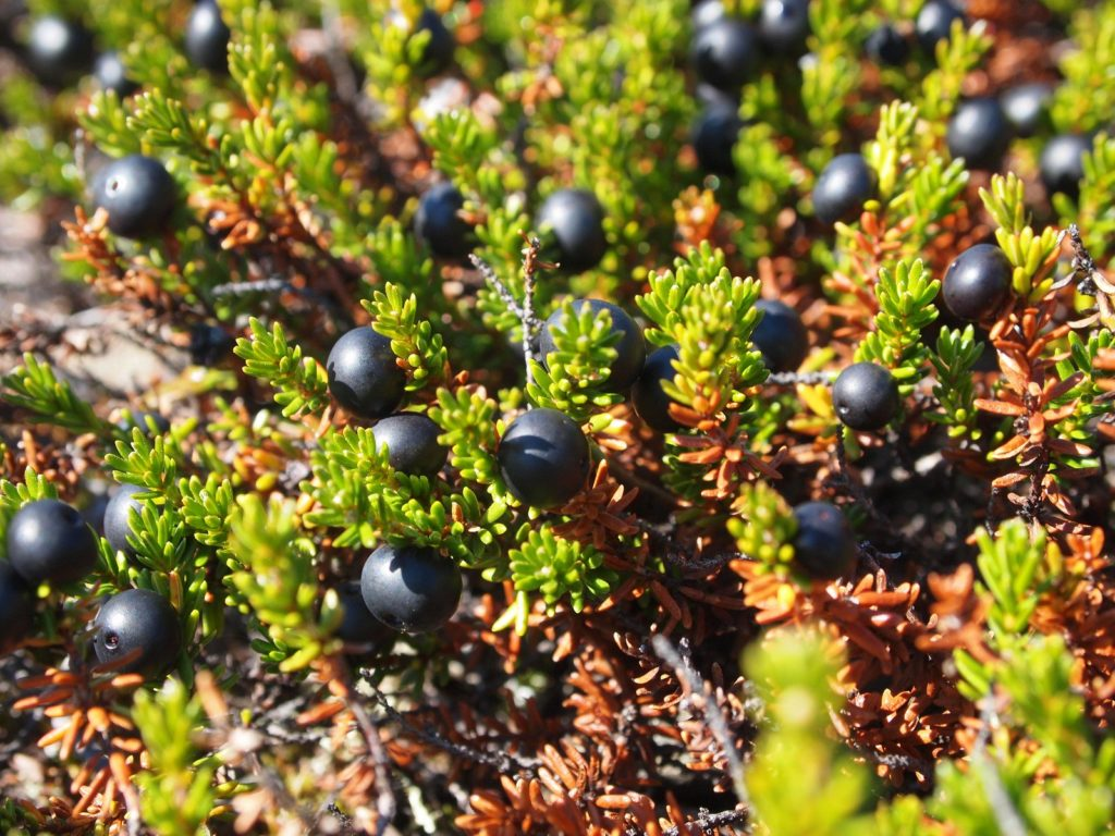 Crowberries can be found on Estonian islands - book a Day Trip to Prangli Island